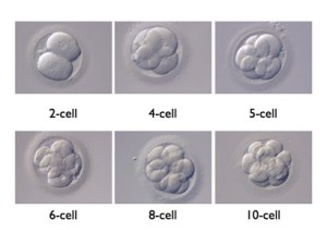 embryo cell division